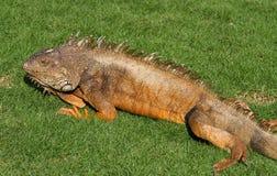 iguana Zdjęcie Stock