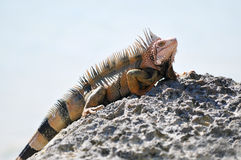 Iguana. Crawling on Rock in Bahamas Royalty Free Stock Photos
