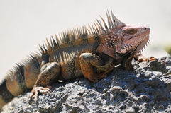 Iguana. Sunning on Rock in Bahamas Stock Photo