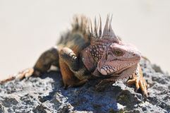 Iguana. Sunning on Rock in Bahamas Stock Photography