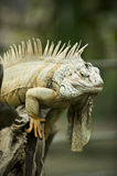 Iguana. Sitting on a tree in Safari World in Thailand Stock Photography