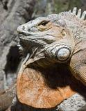 Iguana. Detail of an iguana face Royalty Free Stock Photos