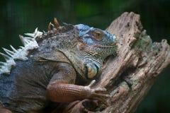 Iguana. An Iguana on a tree stump Stock Photography