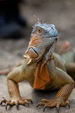 Iguana. Large iguana in closeup showing it's prehistoric head Stock Photo
