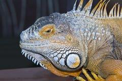 Iguana Immagine Stock