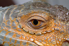 Iguana. The eye of an iguana close up royalty free stock image