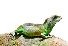 Iguana. A coloured gecko sitting on a stone Royalty Free Stock Photography
