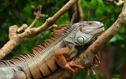 Iguana. Big iguana on branch in zoo Royalty Free Stock Image