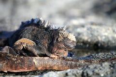 Iguana Stock Photos