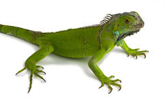 Iguana. Green iguana in white background stock photography