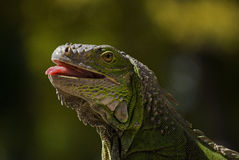 Iguana 2. Big Green iguana from Miami Royalty Free Stock Photography