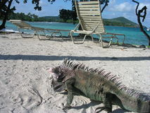 Iguana. On a beach in the Dominican Republic stock photography