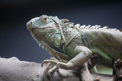 Iguana. A iguana in Beijing zoo royalty free stock images