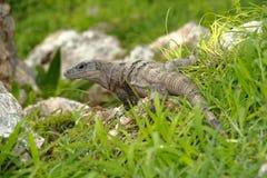 Iguana I Stock Images