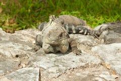 Iguana. Stock Image