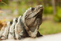 Iguana. Royalty Free Stock Photography