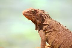 Iguana fotos de stock royalty free