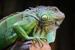 Iguana. Green Iguana On A Tree Stock Photos