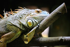 Iguana. Resting On A Tree Stock Images