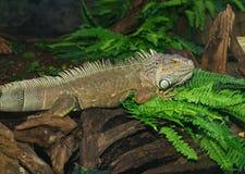 Iguana Stock Image
