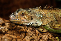 Iguana. One iguana in her natural environment Stock Images