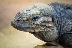 Iguana Imagens de Stock