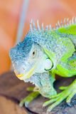 Iguana. Colorful iguana in an aquarium royalty free stock photos