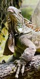 Iguana. An iguana looking upwards resting on a branch stock image