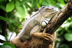 Iguana. Big iguana on a tree trunk Stock Photos