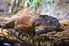 Iguana. Sleeping on the twig Stock Images