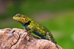 Iguana. Malachite small iguana (Sceloporus malachiticus Stock Photos