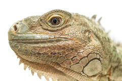 Iguana. Close-up of Iguana on white background Stock Images
