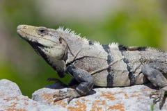 Iguana. Sitting on a rock on a sunny day Royalty Free Stock Photo