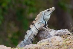 Iguana. Lizard sitting on a rock Royalty Free Stock Photography