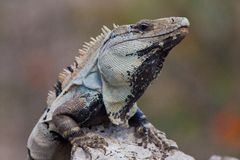 Iguana. Lizard sitting on a rock Stock Photography