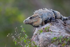 Iguana. Lizard sitting on a rock on a sunny day Stock Images