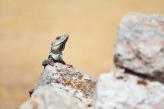 Iguana. Lizard sitting on a rock on a sunny day Stock Image