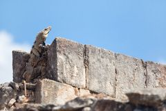 Iguana. Lizard sitting on a rock on a sunny day Stock Photography
