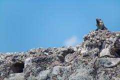 Iguana. Lizard sitting on a rock on a sunny day Stock Photo