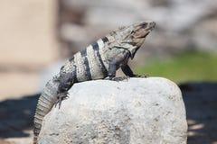 Iguana. Lizard sitting on a rock on a sunny day Royalty Free Stock Photo