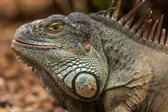 Iguana. Lizard in Loro Park, Tenerife Island Stock Photos
