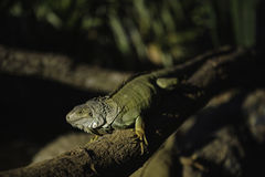 Iguana Stock Photography