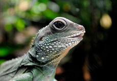 Iguana. A beautiful iguana close up in a zoo Royalty Free Stock Images
