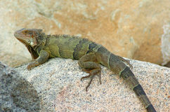 Iguana 3 Royalty Free Stock Images