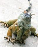 Iguana 3 foto de stock