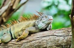 Iguana. Fotos de archivo