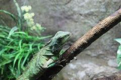 Iguana Imagenes de archivo