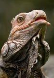 Iguana Fotografia Stock