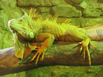 Iguana. An image of an iguana on a branch Stock Image
