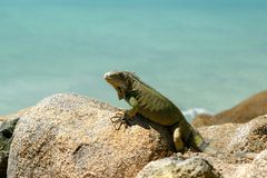 Iguana. Relaxing on rack Royalty Free Stock Photos